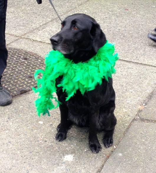 Irish labrador